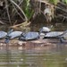 Small photo of Yellow-spotted Amazon River Turtles