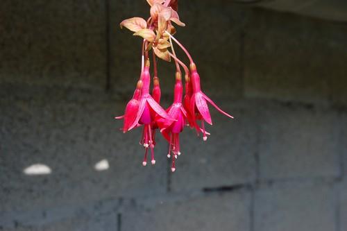 fushia autumnale