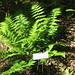 Boott's wood fern - Photo (c) Christopher Hoess, all rights reserved