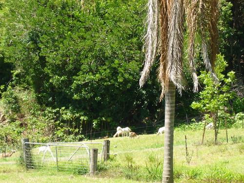 Nimbin Valley Dairy goats