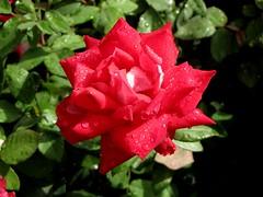 Lilli Marleen Floribunda Rose [03]