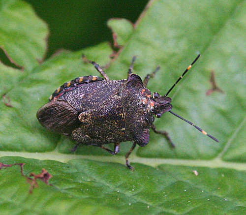 Bronze Shield Bug Troilus luridus Tophill Low NR, East Yorkshire May 2014