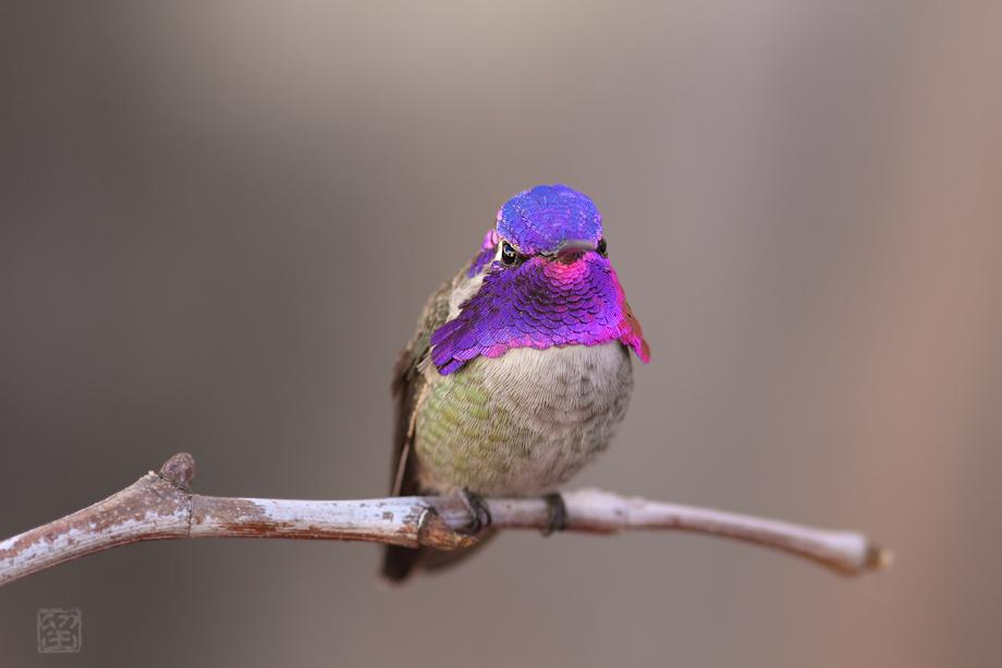 Costa's-X-Anna's-Hybrid-Hummingbird-052414