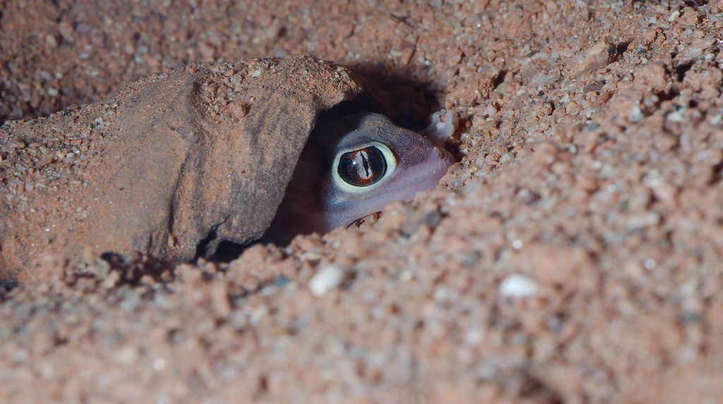 Web Footed Gecko (Pachydactylus rangei)
