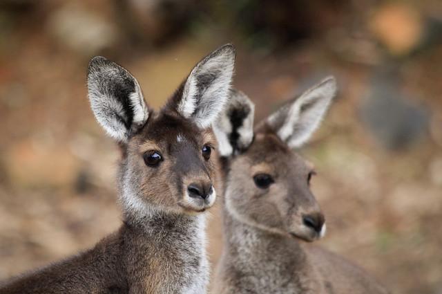 Western Grey Kangaroo, Perth Western Australia
