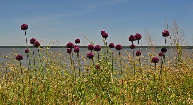 Allium ampeloprasum (3)