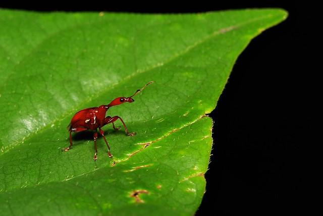 Leaf-rolling Weevil (Paratrachelophorus sp., Attelabidae)