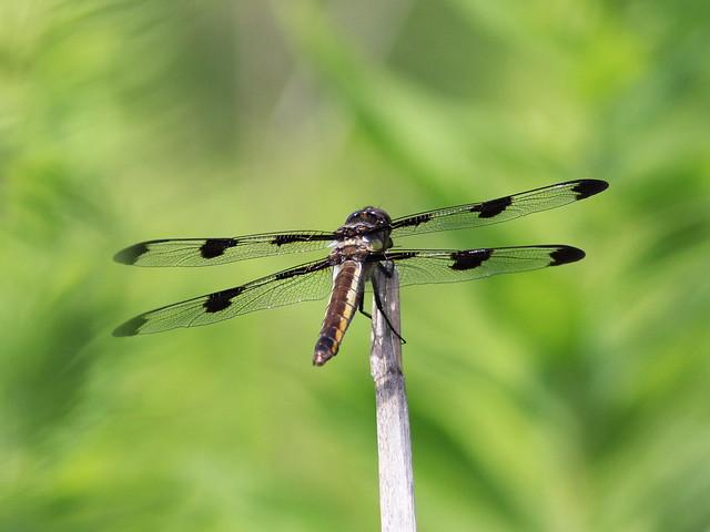 Twelve-spotted Skimmer 20140608