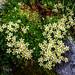 Alpine saxifrage by Elliott Bignell