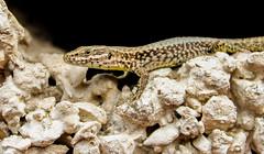 toad(0.0), hognose snake(0.0), sidewinder(0.0), animal(1.0), reptile(1.0), lizard(1.0), fauna(1.0), close-up(1.0), lacertidae(1.0), scaled reptile(1.0), wildlife(1.0),