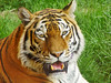 portrait-of-a-tigress-26234