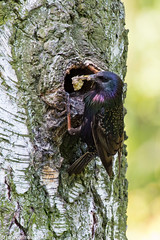 Starling feeding its younger with millberry