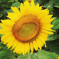 Oh sunflower...you make me smile