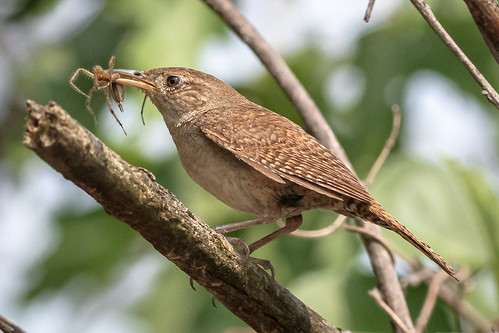 philadelphia birds us pennsylvania content places wren folder takenby 2014 housewren johnheinznwr peterscamera petersphotos canon7d 20140729johnheinznwr