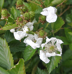 blossom, flower, thimbleberry, wildflower, flora, dewberry,