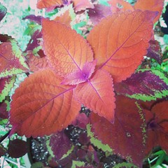 This Keystone Kopper coleus is amazing!