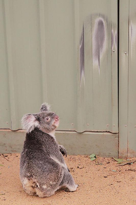 KoalaSanctuary13