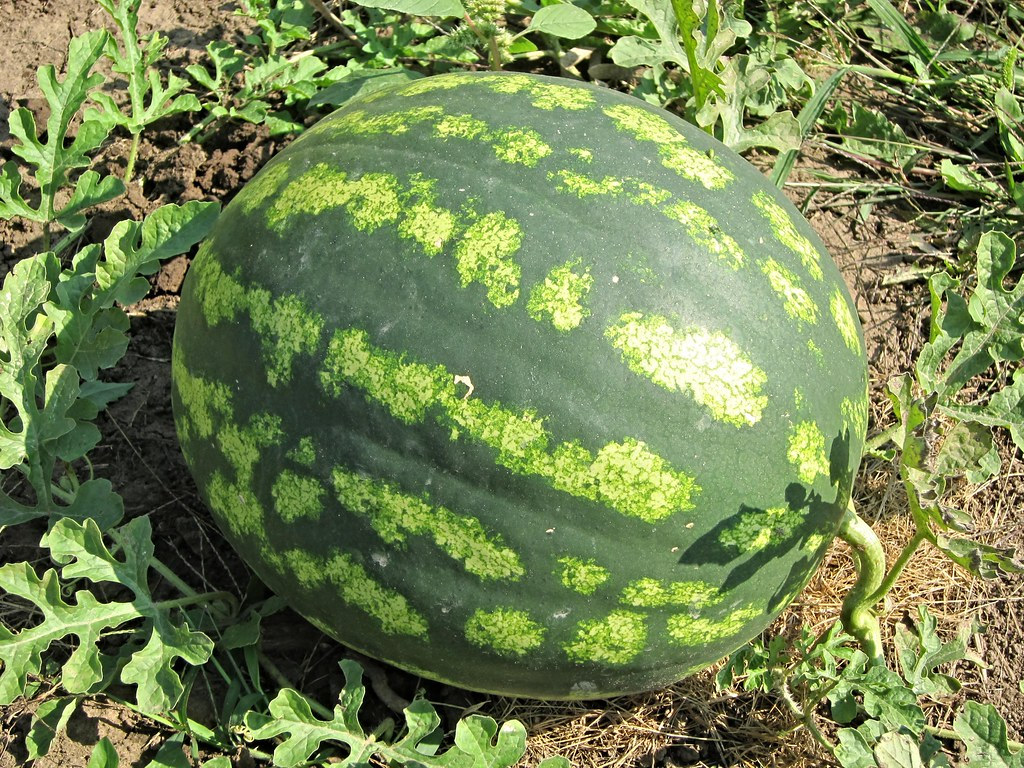 Watermellon, Wayne community gardens