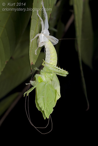 Molting katydid IMG_2986 copy