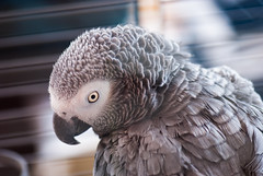 animal(1.0), parrot(1.0), wing(1.0), fauna(1.0), close-up(1.0), beak(1.0), african grey(1.0), bird(1.0),