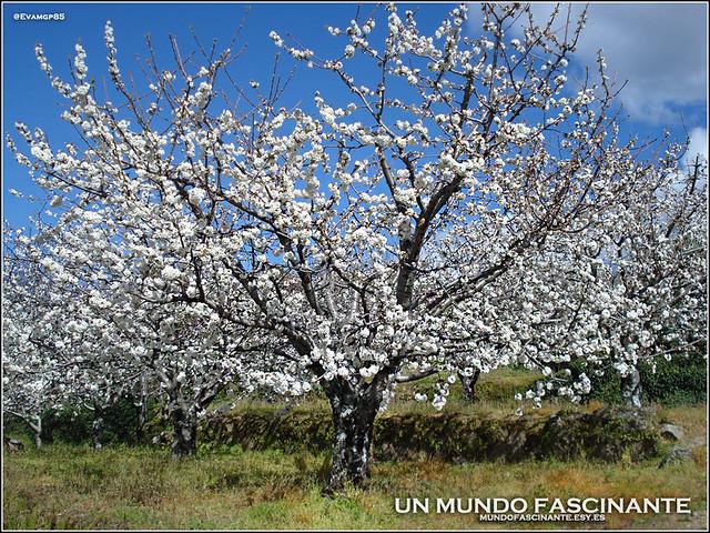 Cerezo en flor, Valle del Jerte. España.