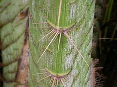 014 Calamus moti (Arecaceae), Flecker Botanic Gardens, Queensland