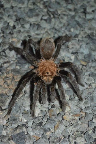 Mexican blonde tarantula (Aphonopelma chalcodes)