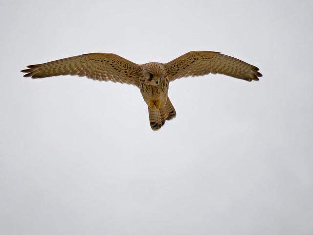 Common Kestrel (Falco tinnunculus), Quiberon, Brittany, France