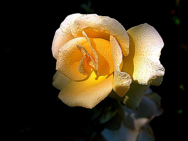Para la Rosa más bella de mi jardín.