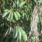 Alstonia scholaris leaf and seedpods
