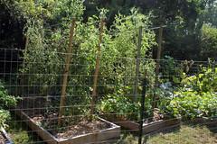 tomatoes_9432