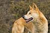 Bingo the Dingo 2014-08-31 (IMG_7326)