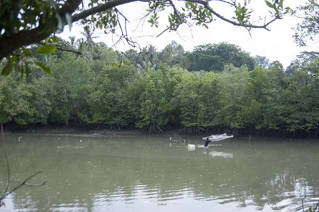 Cast netting in the mangroves, Pulau Ubin