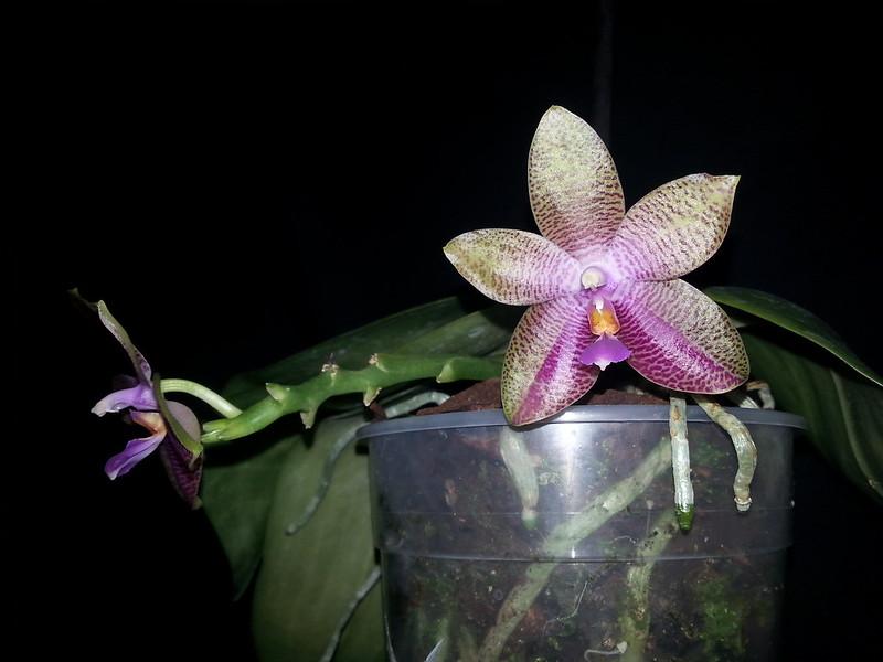 Phalaenopsis gigantea x bellina (Gigabell) 15103598607_3c379bcb72_c
