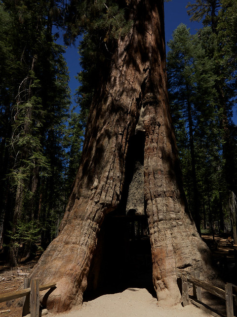 California Tunnel Tree