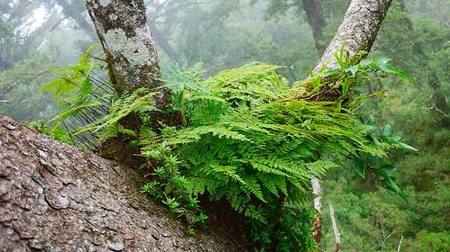 雲杉樹冠層裡繁茂的小膜蓋蕨、七葉一枝花和結實纍纍的台灣黃精。圖片攝影:徐嘉君