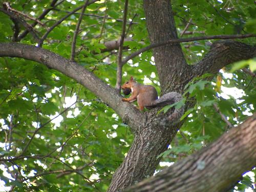 Squirrel prepares for autumn (02)