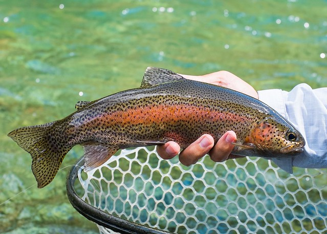 wild-mckenzie-river-rainbow-trout