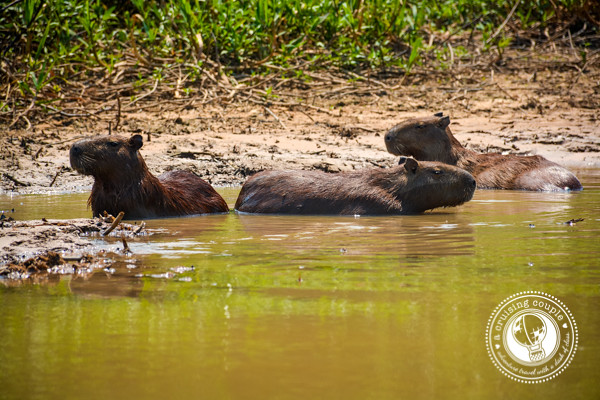 Capybara in the Pantanal