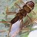Small photo of Common stonefly, Acroneuria arenosa