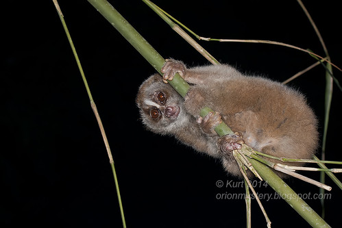 Slow Loris IMG_3633 copy