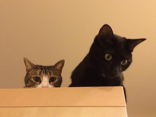 Amelia and Martha #cats atop shelf