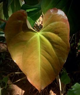 Anthirium leaf