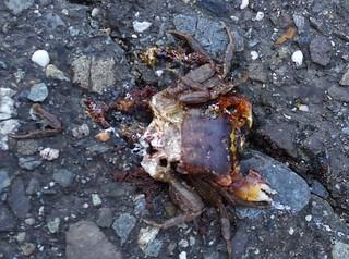馬路上的奧氏後相手蟹,很容易成為腳下與輪下的亡魂;攝影:陳文姿。