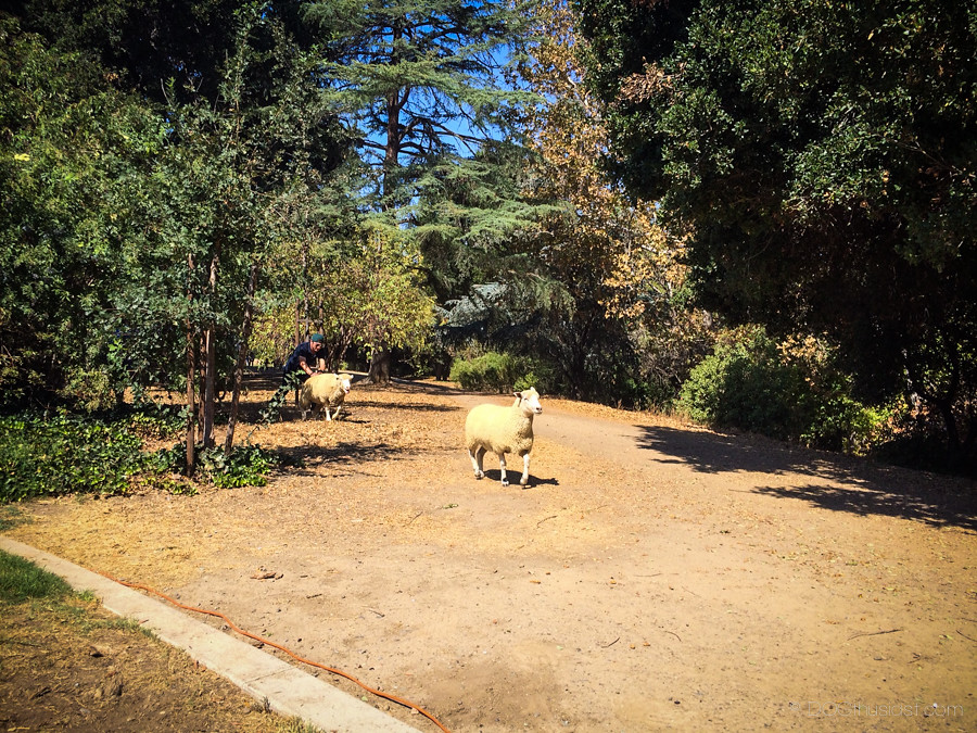 Sheep at Bark in the Park San Jose 2014