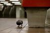 Pigeon Dove Squab