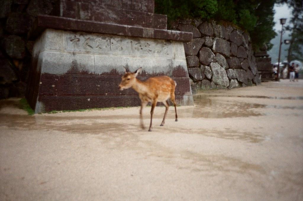 嚴島神社 Hiroshima, Japan / Kodak ColorPlus / Lomo LC-A+ 嚴島這裡也有鹿,這裡的鹿比較不會爆衝,奈良那裡常常爆衝。  找個時間再去京都一趟好了,有點想念。  Lomo LC-A+ Kodak ColorPlus ISO200 4896-0026 2016/09/25 Photo by Toomore
