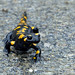 Fire Salamander (Tom Mabbett)