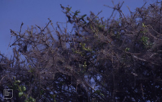 Browntail moth, haw hedge, rubia camaret, Brittany 1993