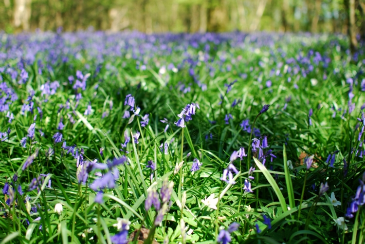 chambray and curls bluebells in spring